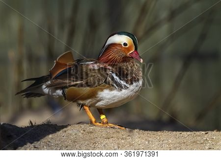 Male Mandarin Duck, Aix Galericulata, Standing On The Sand By Day