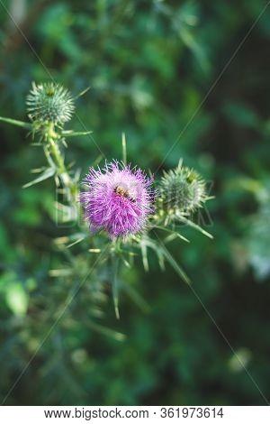 Closeup Of Bee On Purple Burdock Mountain Flower Against Bokeh Green Meadow Grass