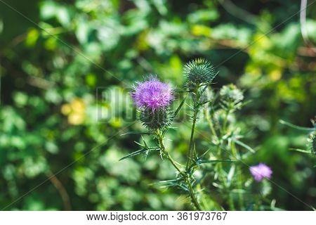Closeup Of Purple Burdock Mountain Flowers Against Bokeh Green Meadow Grass