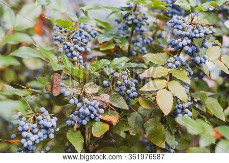 Closeup Of Blue Wild Berry Fruit Against Blurry Green Leaves