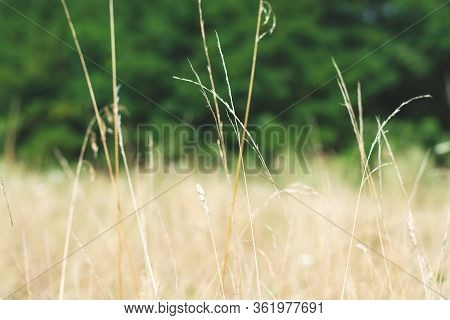 Closeup Of Stems Of Wild Mountain Meadow Grass Against Yellow And Green Bokeh Field Blurry Backgroun