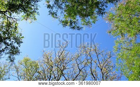 Flowering Acacia Trees (robinia Pseudoacacia) In Sunny Spring Day. Branches With Leaves And Flowers