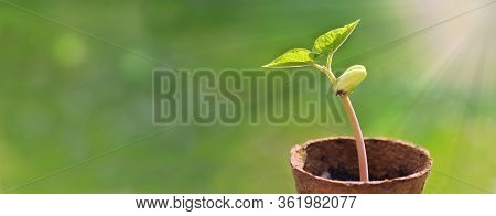 Panoramic View On A Sprout Of Bean Growing Under Sunlight In A Peat Pot