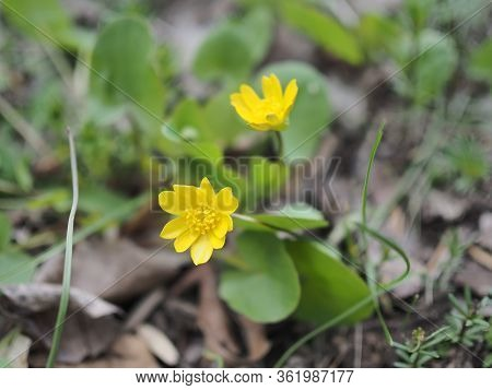 Marsh Marigold Caltha Palustris Also Known As Cowslip, Yellow Marsh Marigold, American Cowslip, Wate