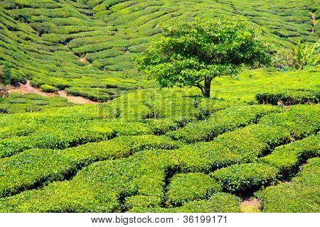 Tee Plantage - Malaysia