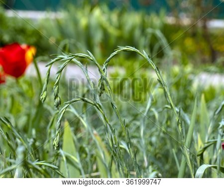 Raindrops On The Grass. Stalks Of Grass With Drops Of Water On A Green Plant Background. Grass After