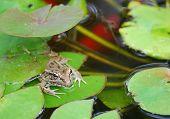 Bullfrog (Rana catesbeiana) on lily pad in Koi pond with goldfish swimming beneath. poster