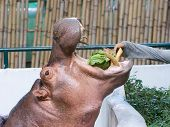 feeding hippopotamus in a zoo by hand poster