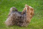 Auburn Yorkshire terrier walking on the lawn poster