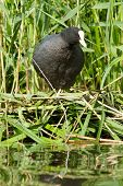 Common coot sitting on a nest (spring) poster