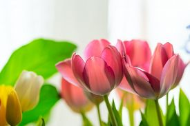 Pink And Yellow Tulips With Greenery. On A White Background. Close Up View.