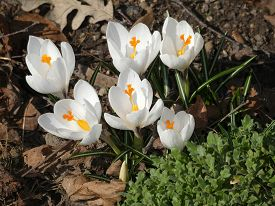 Blooming White Crocuses On The Flower Bed