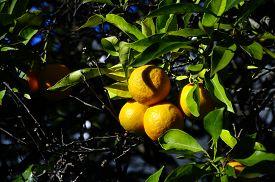 Orange Fruits On Tree And Leaves On Blue Sky