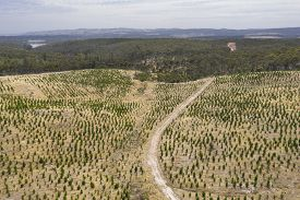 An Aerial View Of A Christmas Pine Tree Farm In The Hills Of South Australia