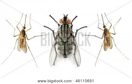 Set of The House Fly  and The Anopheles Mosquito.