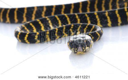 Jungle Carpet Snake
