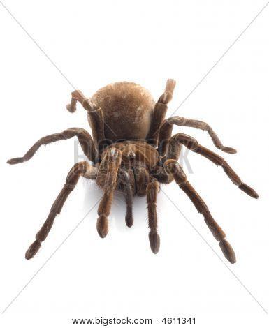 T. Blondi Tarantula