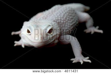 Mack Blazing Blizzard Gecko (female)