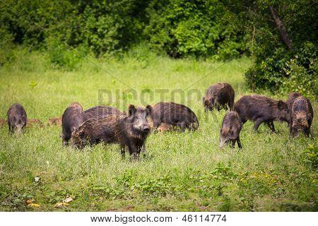 Wild boar family