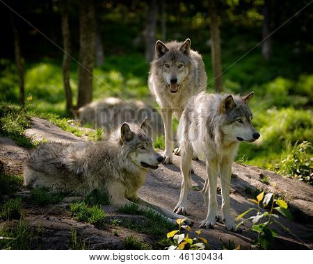 A small pack of three Eastern timber wolves gather on a rocky in the North American wilderness. poster
