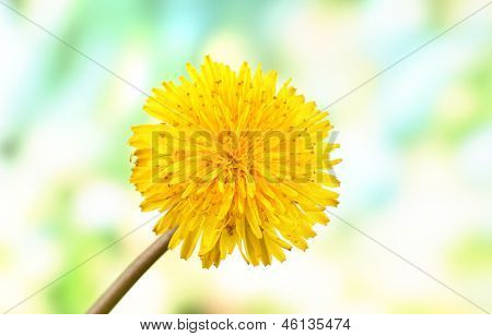 Dandelion flowers on bright background