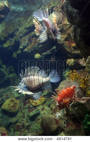 Lion Fish - Tropical Marine Coral Reef