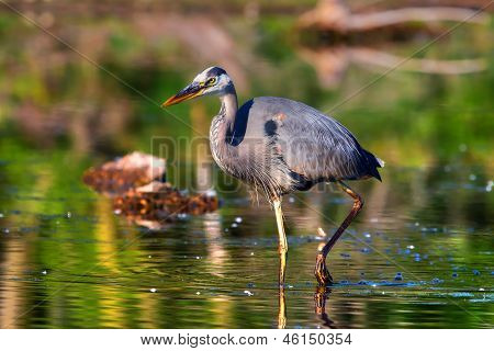 Great Blue Heron fishing in the low swamp waters in High Dynamic Range. poster