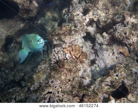 Blue Parrot Fish Opens Mouth As It Swims In Coral Rocks