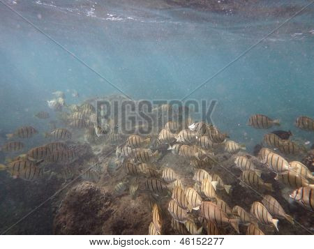 Convict Tang Beneath The Surface Of The Water With Coral Below Them