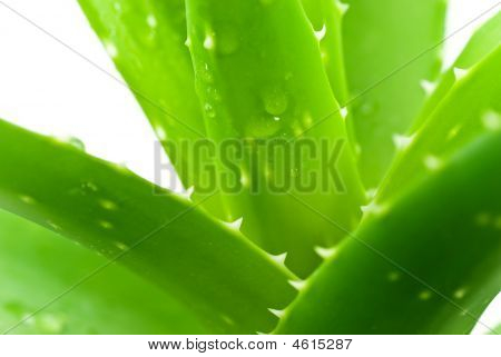 Aloe Leafs With Water Drops,a Close Up Shot-shallow Dof.