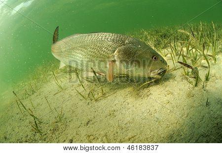 Redfish In Ocean
