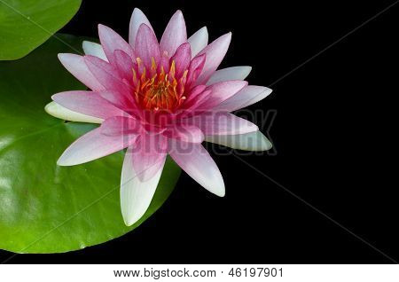 Pink Water-lilly Or Lotus Bloomin Over Black Background