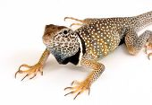 Photograph of a brilliantly colored male Collared Lizard isolated on a white background. poster