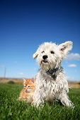 A six week old kitten and a white terrier on lawn poster