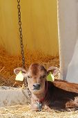 Young Jersey dairy calf laying down by hutch. poster