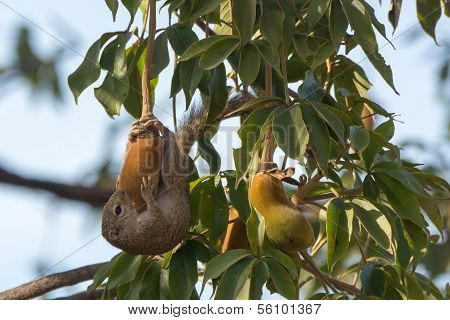 Gambian Sun Squirrel Hugging And Eating A Baobab Fruit