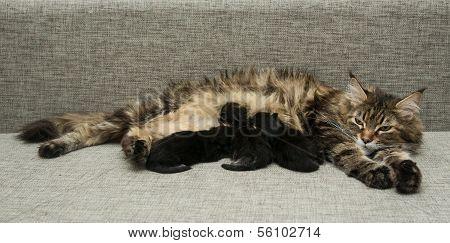 Cat Mother Feeds Her Kittens Milk