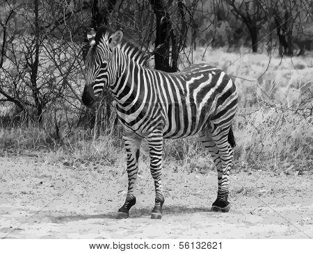 Proud Zebra Black And White Vector
