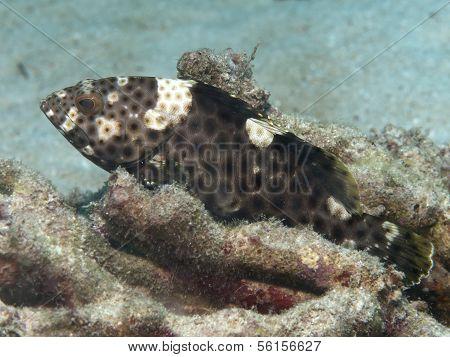 Highfin Grouper