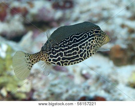 Reticulate Boxfish