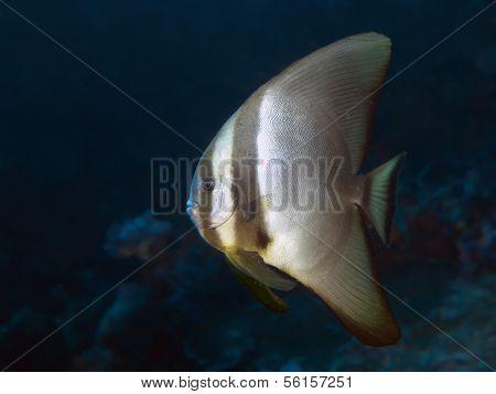 Dusky Batfish