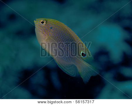 Speckled Damselfish
