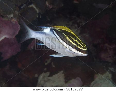 Two-lined Monocle Bream