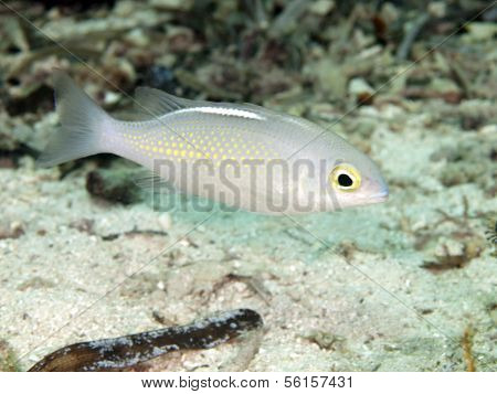 Saw-jawed Monocle Bream