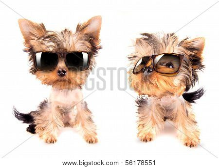 very angry dog with fashion shades on a white background poster