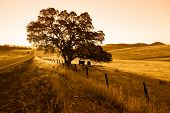 Morning silhouette of oak tree highway and cattle. poster