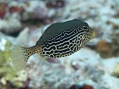 Reticulate boxfish in Bohol sea Phlippines Islands poster