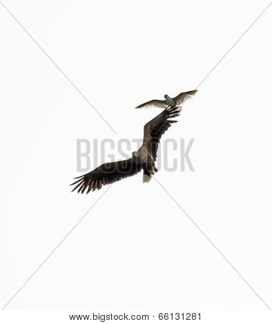 White-tailed Sea Eagle Harrassed By Herring Gull
