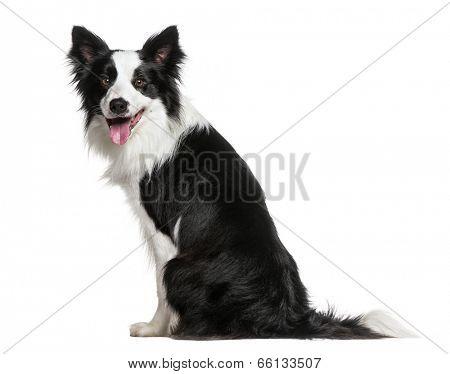 Border Collie (18 months old)