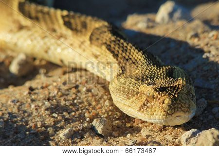 Puff Adder - African Snake Background - Poisonous and Deadly